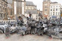Stadsduif, Feral Pigeon, Columba livia. Stadsduiven op de Dam Amsterdam, Feral Pigeons on Dam square Amsterdam stock photos