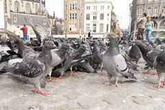 Stadsduif, Feral Pigeon, Columba livia. Stadsduiven op de Dam Amsterdam, Feral Pigeons on Dam square Amsterdam royalty free stock image