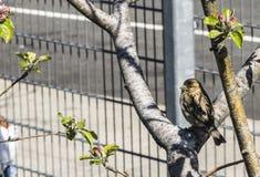 Stadsfågel Arkivbilder