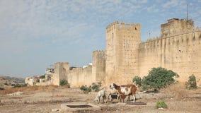 Stadsmuur en geiten Fes, Marokko stock footage