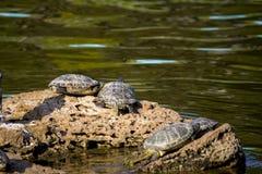 Stadsvijver Vier schildpadden schildpadden op een steen royalty-vrije stock fotografie