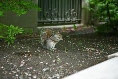 Stadt-Eichhörnchen, das neben einer Backsteinmauer isst Lizenzfreie Stockfotografie