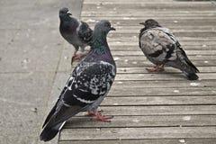 Stadt pidgeon Stockfotografie