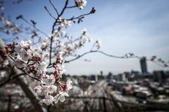 Stadtansicht durch Kirschblüte Lizenzfreie Stockfotografie