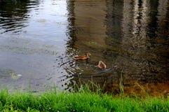 Stadtenten schwimmen im Teich lizenzfreie stockfotografie