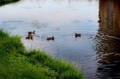 Stadtenten schwimmen im Teich lizenzfreies stockbild