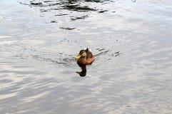 Stadtentenschwimmen im Teich stockfotografie