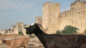 Stadtmauer und Ziegen in Fes, Marokko stock footage