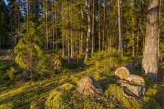 Stadtrände des Kiefernwaldes Stockfotos