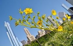 Stadtsonnenblumen Stockbild