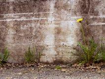 Stadtverfalldetail - Löwenzahn durch Betonmauer lizenzfreie stockfotos