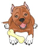 Staff with a bone. Brown pitbull lying with a bone royalty free illustration