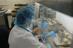 Staff in the laboratory of cultivation of ginseng biomass in the enterprise Vita Stock Image