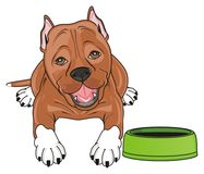 Staff lying and ask to feed him. Brown pitbull lying near an empty bowl Stock Image