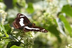 Staff Sargent butterfly on the flowers Stock Image
