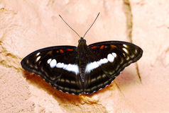 Staff sergeant butterfly Royalty Free Stock Images