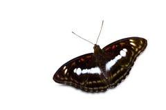 Staff sergeant butterfly Stock Photo