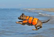 Staffie on beach Stock Photos