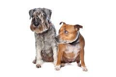 Stafford e un cane dello Schnauzer fotografia stock libera da diritti