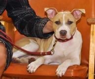 Stafford puppy dog royalty free stock photos