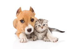 Stafford puppy embracing small scottish kitten. isolated on Royalty Free Stock Images