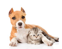 Stafford puppy embracing small scottish kitten. isolated on white Royalty Free Stock Photography