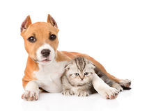 Stafford puppy embracing small scottish kitten. isolated on white Royalty Free Stock Photo