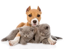 Stafford puppy embracing two kittens. isolated on white. Background Royalty Free Stock Photography
