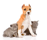 Stafford puppy with kittens. isolated on white background Royalty Free Stock Photo