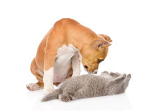 Stafford puppy playing with kitten. isolated on white background Stock Photography