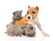 Stafford puppy playing with kittens. isolated on white background Stock Photography