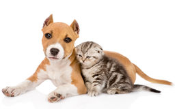Stafford puppy and scottish kitten together. isolated Royalty Free Stock Photo