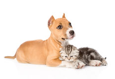 Stafford puppy and scottish kitten together. isolated Royalty Free Stock Photography