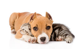 Stafford puppy and scottish kitten together. isolated on white Stock Photos