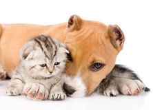 Stafford puppy and scottish kitten together. isolated on white Royalty Free Stock Images