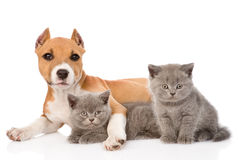 Stafford puppy and two kittens lying together. isolated on white Stock Photos