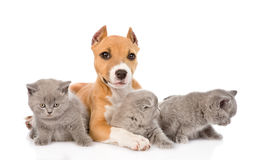 Stafford puppy and two kittens lying together. isolated on white Stock Photography