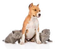Stafford puppy and two kittens sitting together. isolated on whi Stock Image