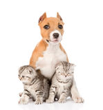 Stafford puppy and two scottish kittens sitting together. isolated Royalty Free Stock Photos