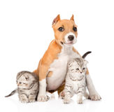 Stafford puppy and two scottish kittens sitting together. isolated Royalty Free Stock Photography