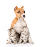 Stafford puppy and two scottish kittens sitting together. isolated Royalty Free Stock Image