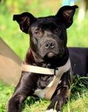 Stafford terrier Royaltyfria Bilder
