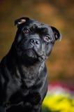 Stafford Terrierportrait gegen die Farben Stockfotografie