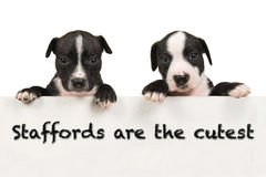 Stafford terriers are the cutest Stock Photo