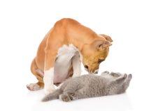 Stafford-Welpe, der mit Kätzchen spielt Getrennt auf weißem Hintergrund Stockfotografie