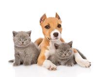 Stafford-Welpe und zwei Kätzchen, die zusammen liegen Lokalisiert auf Weiß Stockbilder
