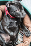 Staffordhsire bull terrier puppy siiting in bed glancing at the camera Stock Image