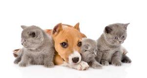 Staffordpuppy en drie katjes die samen liggen op whi Stock Foto