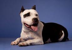 Staffordshire americano Terrier_12 foto de archivo libre de regalías