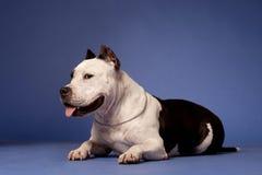 Staffordshire americano Terrier_14 imagen de archivo libre de regalías
